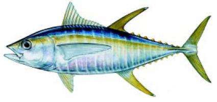 Albacora Lajeira/Yellowfin Tuna